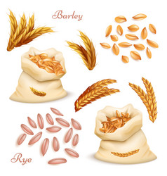 agricultural cereals - barley and rye set vector image
