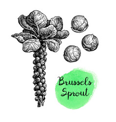 Ink sketch brussels sprout vector