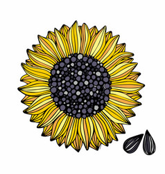 sunflower hand drawing for design vector image