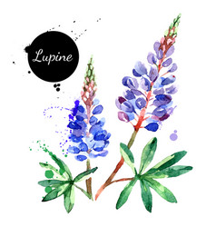 hand drawn watercolor lupine flower painted vector image