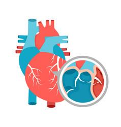 Human heart anatomy close-up educational diagram vector