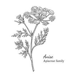ink anise hand drawn sketch vector image