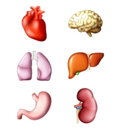 Internal human organs vector