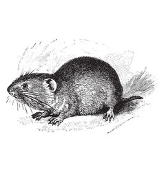 northern red backed vole vintage vector image