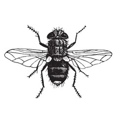 Yellow tailed tachina fly vintage vector