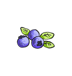 Blueberry with leaves in vector