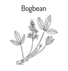 bogbean or buckbean vector image