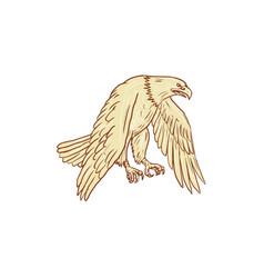 bald eagle flying wings down drawing vector image