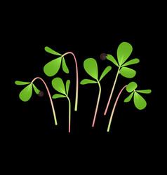 Microgreens purslane bunch plants black vector