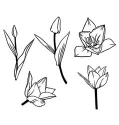 tulip contour set vector image