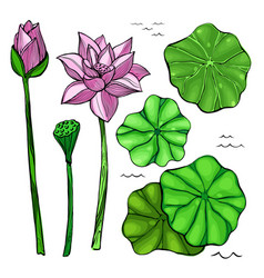 flowers and leaves of the lotus vector image