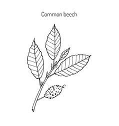 beech branch with leaves vector image