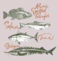 Delicates fish tuna salmon grouper sturgeon vector