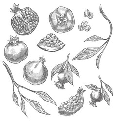 Pomegranate tasty fruit process growing vector