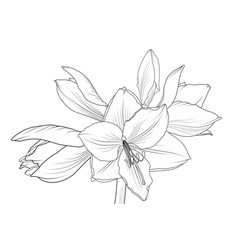 lilly amaryllis hippeastrum blooming flower object vector image vector image