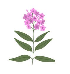 Phlox flower vector
