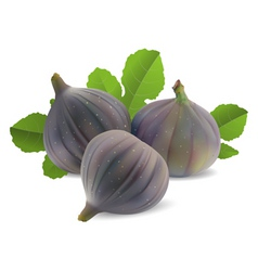 fresh figs vector image vector image