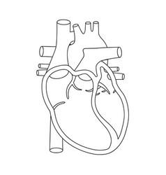Human heart anatomically correct vector