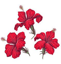 red hibiscus flowers set sketch vector image