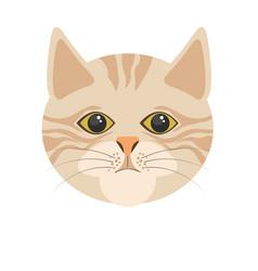 burmilla cat in light color portrait on white vector image