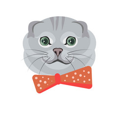 scottish fold breed cat in grey color on white vector image