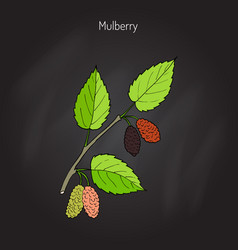 mulberry morus nigra or black mulberry vector image vector image