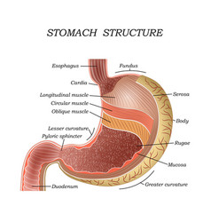 the structure of the human stomach vector image
