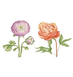 Beautiful gentle pink peony flowers isolated on vector