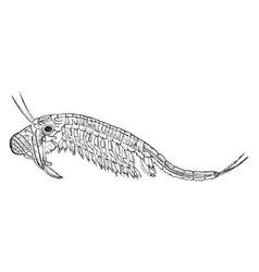 Fairy shrimp vintage vector