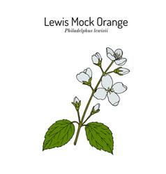 Lewis mock-orange philadelphus lewisii state vector