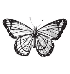 Berenice butterfly vintage vector