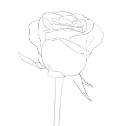 black and white rose bud with stem flower isolated vector image