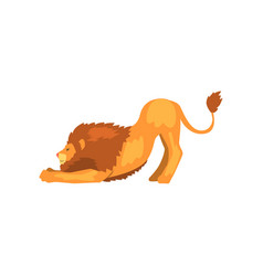 powerful lion stretching wild predatory animal vector image