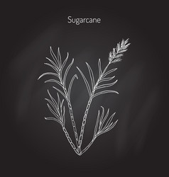 sugarcane saccharum officinarum vector image