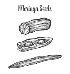 Moringa Seed vector