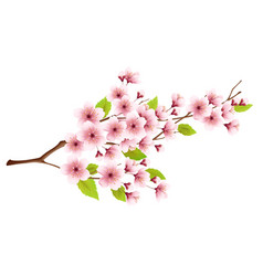 branch spring blossoming cherry isolated on vector image