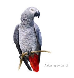 african grey parrot detailed painting vector image