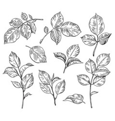 hand drawn set rose leaves vector image