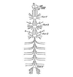 cockroach nervous system vintage vector image