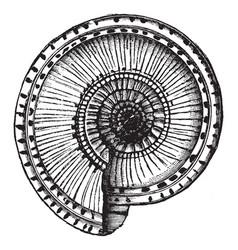 Solarium shell vintage vector