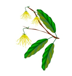 Thai ylang ylang flowers on white background vector