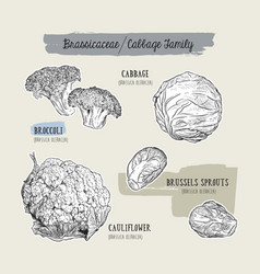 various cabbage set cabbage broccoli brussels vector image