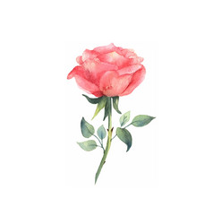 watercolor pink rose isolated on white background vector image