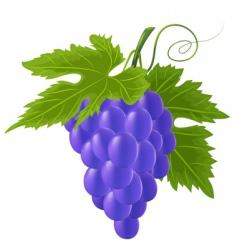 vector blue grape vector image vector image