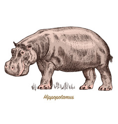 african hippopotamus wild animal on white vector image