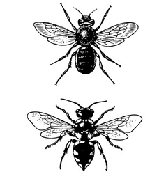 Bugs melecta and osmia vector