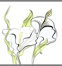 beautiful calla lilies flowers vector image