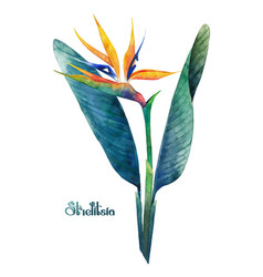Watercolor strelitzia bouquet vector