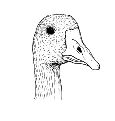 ink drawing head of goose vector image