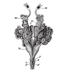 Female edible frog genital organs vintage vector